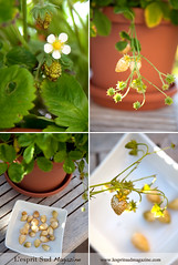 Alpine Strawberries {Fraises des Bois} (Scrumptious Venus) Tags: gardening cultivar pineapplecrush lespritsudmagazine wwwlespritsudmagazinecom fragariavescasempervirens