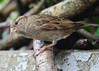 I Can See You ! (Stephen Whittaker) Tags: house nikon dunnock sparrow hedge d5100 whitto27