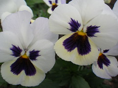 Pansies (s.kosoris) Tags: flowers flower macro yard pentax pansy wg1 skosoris pentaxoptiowg1