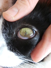 Thorn lodged in cat eye (Rayya The Vet) Tags: blackandwhite cat feline vet anaesthetic domesticshorthair vetemergency vetophthalmology thornlodgedineye