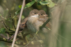 Whitethroats Explored 29/06/13 -0817 (WendyCoops224) Tags: family canon eos east minsmere fledglings rspb whitethroat 600d 100400mml