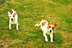 Molly & Ellie (Megan.Eastham) Tags: dog animal jack jumping russel running terrier freeze frame barking freezrframe