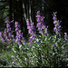 Tall Penstemon