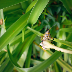 Lubber on a Day Lily (Darcy A. Farris) Tags: nature animals day lily florida wildlife panasonic jacksonville grasshopper 20mm lubber gf1
