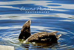 Diving for gold? (Chantal PhotoPix) Tags: wild lake art nature water animal animals closeup fauna photography duck close wildlife fineart beak ducks waterfowl fineartphotography