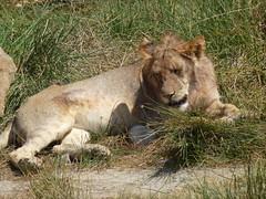 Tanzania '13 (faun070) Tags: lion serengeti africanwildlife