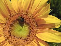 ** Le tournesol...et la butineuse...** (Impatience_1 (Si site non OK...Y suis moins...)) Tags: flower fleur insect explorer m bee explore sunflower tournesol abeille insecte impatience supershot xplor 3000v120f abigfave anawesomeshot flickrdiamond fabuleuse wonderfulworldofflowers 100commentgroup diegojack coth5