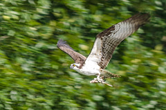 Osprey (Pandion haliaetus) (Josh Beasley) Tags: sea fish bird hawk alabama osprey avian pandionhaliaetus guntersville
