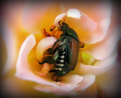 IMG_7504 (Mat_B) Tags: road trip family pink hairy orange flower green yellow japanese hotel inn midwest beetle visit iowa cheeky days des funeral hiding clive japonica moines scarab popillia 2013