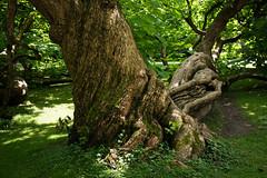 Old Tree in Hofgarten (generatorrr) Tags: old tree green austria sterreich europa europe tyrol innsbruck hofgarten tirolo
