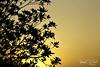 Leaves_Sunset (TorresKw) Tags: sunset sky leaves sunrise canon sillouette kuwait kuwaitcity kw kwt الكويت كويت kuw
