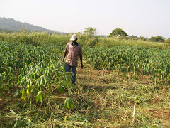 Technician inspects weeded cassava field (IITA Image Library) Tags: weeds technicians cassava manihotesculenta