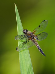 Vierfleck (Libellula qaudrimaculata) 1423 (fotoflick65) Tags: bug linz insect iso100 dragonfly flash libelle insekt f8 garten libellula leopold odonata libellulidae bof botanischer fl300 frh 300mmf4d quadrimaculata st250 segellibelle d7000 sb700 groslibelle kepplinger y2013 fl250300 st200400 fotoflick65 ni300 ym06