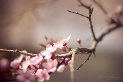 These beautiful moments (Pamba-) Tags: old pink flowers music tree cute nature beautiful weather pen writing vintage season spring bottle soft branch play bottles blossom sweet girly pastel piano feather plum story pear write past oldies blooming inkt
