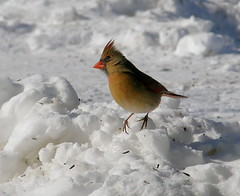 What is going on  up there,  Where's the bird seed? (Denzil D) Tags: winter snow ice birds cardinal birdfeeder olympus explore birdwatching femalecardinal redbird winterfeeding