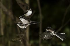 Long-tailed Tits Mating (johnawrightphotography) Tags: mountain japan branch mating nagasaki longtailedtit aegithaloscaudatus