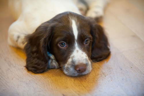 Billy! English Springer Spaniel.
