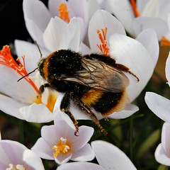 Buff-tailed Bumble Bee, Bombus terrestris (Queen) (chemodan) Tags: uk gardens surrey wisley rhs