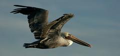 Pelican profile (TJ Gehling) Tags: bird flight pelican brownpelican richmondmarina birdinflight marinabay pelecanus pelecanusoccidentalis birdflight richmondca