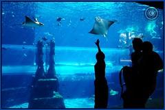 Dubai, United Arab Emirates (Wioletta Ciolkiewicz) Tags: aquarium dubai uae arabic emirate acquario unitedarabemirates acuario jumeirah zea akwarium  duba vereinigtearabischeemirate palmjumeirah  dubaj emiratiarabiuniti zjednoczoneemiratyarabskie paszczka batoidea  emiratosrabesunidos aquaventurewaterpark wiolettaciolkiewicz