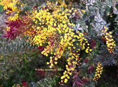 Acacia baileyana 'Winter Flame' (Kelley Macdonald) Tags: acacia yellowflowers baileyacacia mimosaceae cootamundrawattle acaciabaileyana colorfulfoliage bluefoliage acaciabaileyanawinterflame goldenmimosatree