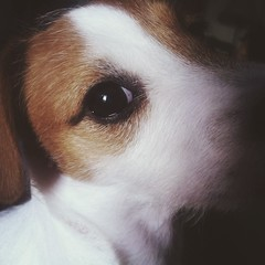 (Vallelitoral) Tags: old portrait dog cute beautiful vintage jack nice retro jackrussell jackrussellterrier iphone flickraward iphonegraphy instagram instagramapp uploaded:by=flickrmobile flickriosapp:filter=nofilter