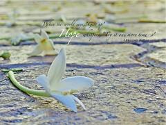 HOPE for my COUNTRYMEN (yepay02) Tags: inspiration flower hope quotes prayforthephilippines motivationqoutes yolandaph typhoonyolanda