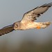 1NorthernHarrier_Male_65K8692 copy