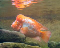 fish aquarium nikon nikkor shedd midas cichlid sheddaquarium d4 amphilophus citrinellus amphilophuscitrinellus nikond4 midascichlid 2470mmf28g
