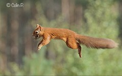Red Squirrel (Sciurus vulgaris) (Col-Page) Tags: red scotland flying squirrel cairngorms
