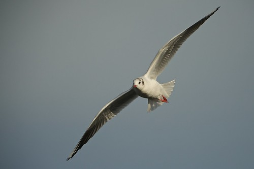 Black Headed Gull in-flight