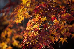 IMG_5095 (Thomo13) Tags: autumn trees red colour fall leaves japan canon eos gold kyoto mark ii 5d momoji
