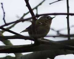 Goldcrest (ramridgedave) Tags: wild bird animal beds chilterns bedfordshire goldcrest