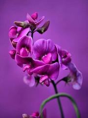 Sweet Peas Purple (saxonfenken) Tags: flowers purple thumbsup sweetpeas 8108 gamewinner challengewinner friendlychallenges yourockwinner yourockunanimous storybookwinner pregamewinner 8108flowers