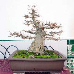 acer buergerianum 1 (Rogelio Jiménez) Tags: ficus acer bonsai higuera manzano espino olmo invernadero tilo ciruelo crataegus membrillo rogeliojimenez