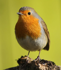 wobin (Dawn Porter) Tags: bird robin somerset
