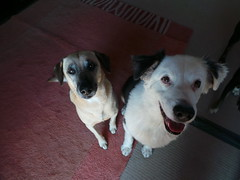 Punchkin & Shepo (Rayya The Vet) Tags: dog vet canine australianshepherd twitter whippetcross vetpet