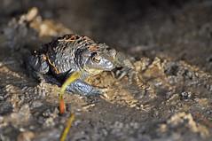 Testwood toad (Wildlife Online) Tags: amphibian hampshire toad southampton bufo bufobufo commontoad testwoodlakes marcbaldwin wildlifeonline