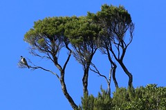 Chatham Island Pigeon Parea Awatotara Reserve Chatham Island New Zealand