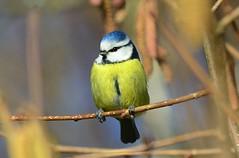 DSC_0021 (sylvette.T) Tags: bird oiseau 2014 mésangebleuelorrainefrance nikond5100 objectif70200sigma infinitexposure