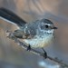 Rhipiduridae - Mangrove Grey Fantail