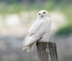 Snowy Owl (snooker2009) Tags: bird fall nature spring snowy wildlife raptor owl migration dailynaturetnc13