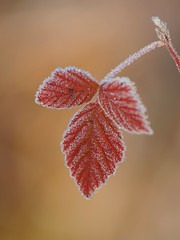 Feuille piquante **** (Titole) Tags: red leaf frost frosted feuille twothumbsup thechallengefactory storybookwinner friendlychallengessweep titole nicolefaton