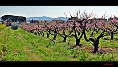 I peschi della Castellaccia (Explore Apr 15, 2014 #156) (Jambo Jambo) Tags: italy panorama landscape italia tuscany toscana grosseto peschi maremma peachtrees gavorrano castellaccia nikonflickraward nikond5000 jambojambo