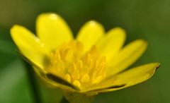 Spring is here    ..........and it is yellow. {explored} (conall..) Tags: lesser celandine ranunculus ficaria lessercelandine ranunculusficaria flower wed spring yellow raynox dcr250 macro closeup tulynacree annacloy down countydown