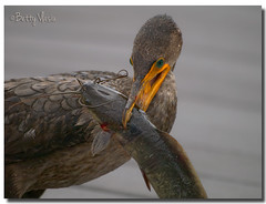 Double Crested Cormorant with dinner (Betty Vlasiu) Tags: double crested cormorant with dinner phalacrocorax auritus bird nature wildlife florida everglades national park