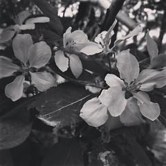 ورد (razan.sh) Tags: ابيضواسود ورد ربيع spring black
