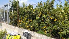 Zwischen Mandel- und Orangenbäumen hindurch (urs_himmelrich) Tags: denkmal frühling katalonien küstenstrasse mandeln mittelmeer oliven orangen passtafel peniscola sandstrand spanien tarragona valencia winter