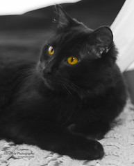 Portrait of Jazzy the Cat (Skyelyte) Tags: pet cat animal monochrome selectivecoloring jazzy indoors indoorphotography portrait fluffy black blackcat eyes ambereyes amber blackandwhite soft furry whiskers canon7d 50mmprime skyelyte blanket crocheted handmade mammal poser