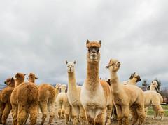 medina-7688 (FarFlungTravels) Tags: alpaca animal farm medinacounty onefineday shear wool